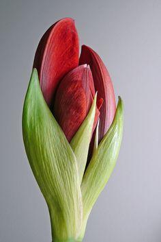 Red Amaryllis.