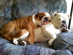 All crinkled up together..love my bulldogs!
