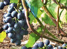 Экстремальный климат солнечной ягоде не помеха. И урожай винограда на второй-третий год после посадки – вполне достижимая цель даже для новичков. Итак, как перестать мечтать и начать выращивать виноград…