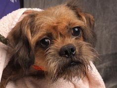 Petango.com – Meet Joan, a 1 year 7 months Griffon, Brussels / Terrier, Yorkshire available for adoption in COLORADO SPRINGS, CO