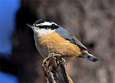 Know what's cute? The sound of Nuthatches talking with each other. :) <3 I just got back from a walk, and there are quite a few of them in the bush chirping away. So sweet.