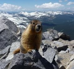 Yellow-bellied marmots live in the higher elevations in Yosemite National Park. They are closely related to squirrels.