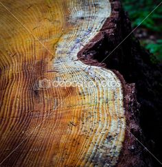 Felled spruce stump