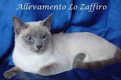 Il gatto di razza Thai - Gatti & Co - Dove i gatti sono di casa www.gattiandco.com400 × 265Search by image per sempre grato. Linguaggio degli occhi: Quando il gatto è affamato dilata le pupille, quando ha paura tende a restringerle, se è in allarme alza le palpebre, se è rilassato le socchiude.