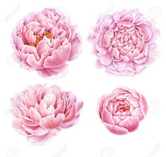 Picture of Set of watercolor peonies isolated on white background. stock photo, images and stock photography. Watercolor Tattoo Sleeve, Small Watercolor Tattoo, Watercolor Flowers, Peony Drawing, Peony Painting, Tattoo Bunt, Aquarell Tattoos, Zealand Tattoo, Peonies Tattoo