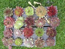 20 jungpflanzen hauswurz dachwurz sempervivum nr. 8   garten, Garten und erstellen
