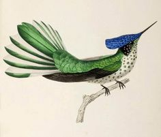 Le Stokes hummingbird illustration from 1832 commissioned by the French naturalist René Primevère Lesson