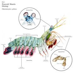 Peacock Mantis Shrimp, Odontodactylus scyllarus. Bully of the sea. Check him out inYouTube videos. =))