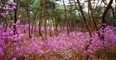 Photograph Spring flower azalea. by PARK G. S on 500px