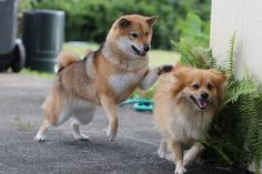 Shiba Inu Kitsune playing with her friend.