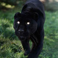 Panthère Noire Magnifique <3