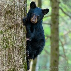 Find beautiful views and vistas of the Smoky Mountains and Cades Cove, Tennessee, photos of Cades Cove Us Road Trip, Mountain Vacations, Cades Cove, Smoky Mountain National Park, Great Smoky Mountains, Black Bear, Trip Planning, National Parks, Wildlife
