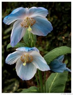 Blue Poppy Pair: Photo by Photographer Charles Miller - photo.net