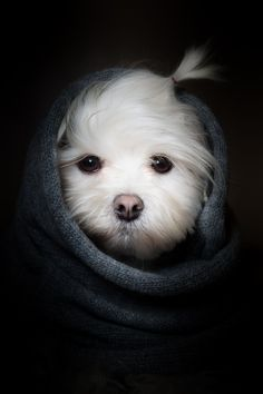 sweetness - all wrapped up! #maltese