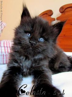 Black Kittens, Cats And Kittens, Pics Of Cute Cats, Mean Cat, Maine Coon Kittens, Norwegian Forest Cat, Kitty Cats, Cat Love, Fur Babies