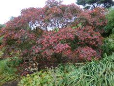 Acer in bloom in Edinburgh Botanic gardens autumn 2014