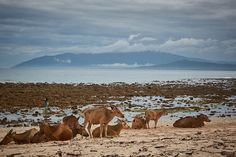 Cows on the beach near Dili Timor Leste. Timor Leste, Cows, Road Trip, Journey, Island, Mountains, Beach, Travel, Animals
