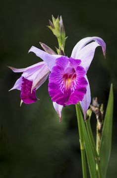 Arundina GraminifoliambooOrchid
