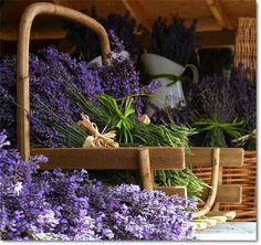 Ceniora: Лаванда - Кто однажды увидел лаванду на пике ее цветения и ощутил ее изысканный аромат, влюбится в нее навсегда!