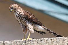 Hawk, Juvenile - Southern California Birds