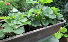 Erdbeer-Ableger ziehen und pflanzen