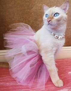 White and orange cat in a pink tutu dress outfit, costume. Flame point Siamese with big blue eyes and pearl necklace. Pet fashion photography princess dress up photoshoot
