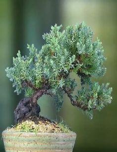 kit bonsai de cultivo en colador junipero