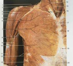 Superficial layer and ventral aspect muscles of shoulder and arm : 1:trapezius , 4&5: deltoid, 6&7&10: pectoralis major, 9: biceps brachii, 11: brachialis, 12:serratus anterior, 13: external obdominal oblique, 14: sternocleidomastoid, 15: infra hyoid muscles, 20: rectus obdominis. Gross Anatomy, Brain Anatomy, Human Anatomy, Muscular System, Muscle Anatomy, Academic Art, Muscle Body, Medical Art, Free Education