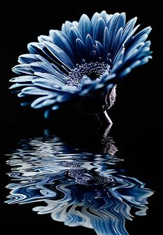 River of Tears by Amy Hopp, Gerbera Daisy Blue Flowers, Beautiful Flowers, Gerbera Daisies, Sunflowers, Beautiful Images, Beautiful Things, Color Celeste, Love Blue, Mirror Image
