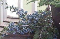 ♕ blue juniper berries at Christmas
