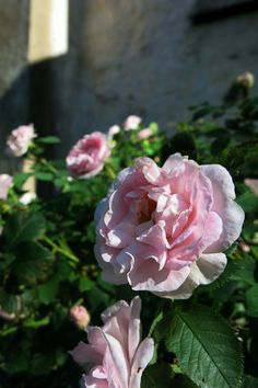 Ihana vaaleanpunainen ruusu <3