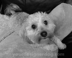 http://yourdesignerdogblog.com, dogs, designer dogs, yorkipoo, black and white