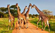 I hope you love these giraffes. Please follow me and I will give you many more wonderful pictures!:) -thanks