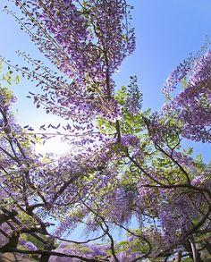 Purple Wisteria - Gorgeous !