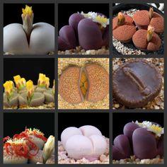 Lithops cactus succulent seeds mix~living stones colorful faces