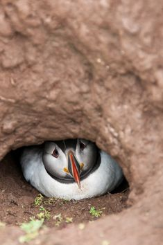 Puffin in a burrow, Skomer Island, Pembrokeshire, Wales