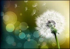 Dandelion Flower bokeh effect photography summer time childhood Dandelion Wallpaper, Dandelion Clock, Dandelion Wish, Dandelion Flower, Dandelion Seeds, Cactus Flower, Flower Art, Flower Bokeh, Blur Photo Background