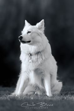 Dog of the breed Danish Spitz