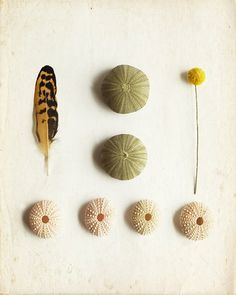 Feather Art Photography with Sea Urchin by lucysnowephotography, $22.00