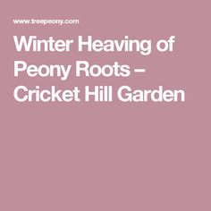 Planting Tree Peonies From Cricket Hill Garden   The Martha Stewart Blog |  Peony | Pinterest | Tree Peony, Hill Garden And Peony