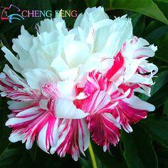 Китайский пион, корень пиона Семена, - 10 шт. редкие китайские Семена пиона посадка зелени и цветах Терраса сад во внутреннем дворике