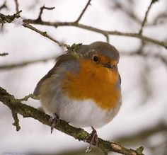 Red Robin my love