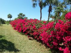 Bougainvillea hedge. In stock at Moon Mountain. Trained on poles 6-8 tall. They said they look a little scrappy this time of year but will perk up as soon as planted. $99.