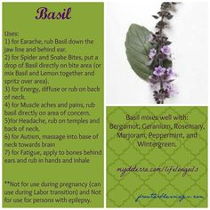 Pure Essential Oils and More!: Oil of the Day Jan Basil Essential Oil Great for Earaches and More! Essential Oil Carrier Oils, Basil Essential Oil, Doterra Essential Oils, Essential Oil Diffuser, Essential Oil Blends, Pure Essential, Yl Oils, Doterra Oils, Aromatherapy Oils