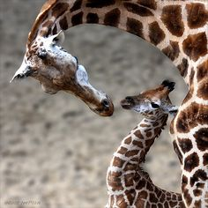 Giraffe lovies...  (pinned from dontcallmebetty.tumblr.com - lots of beautiful pix there... they need pinterest to organize them! LOL!!)