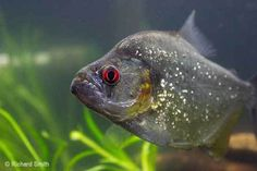 Plantanimalia Treasure: Freshwater Fish Species Profiles