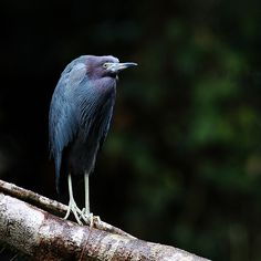 ". ""Little Blue"" in a bad mood   Little Blue Heron / Blaureiher (Egretta caerulea)"