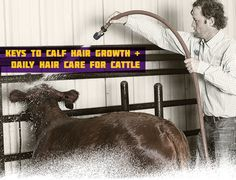 Keys to Calf Hair Growth + Daily Cattle Hair Care Livestock Judging, Livestock Farming, Showing Livestock, Showing Cattle, Rinder Stall, Show Cattle Barn, Cow Tipping, Show Steers, Show Cows