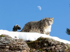 What is the significance of this, tell me, please. Snow leopards have been spotted in eastern Tibet for the first time.