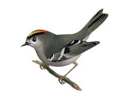 Kungsfågel, Regulus regulus - Fåglar - NatureGate